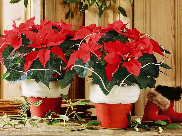 Como cuidar tu Poinsettia para que sobreviva a las Navidades
