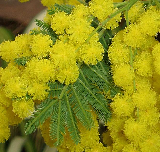 Es tiempo de Mimosa, deja que ilumine tu hogar
