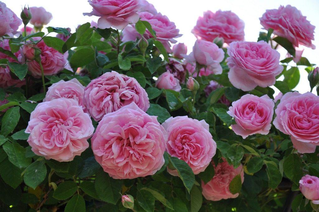 Poda y cuidados de los rosales, preparando el espectáculo