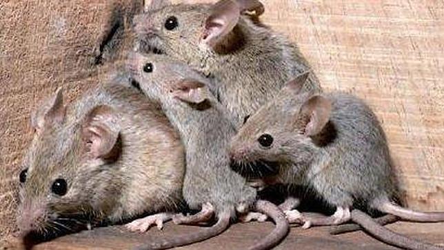 Denuncian una nueva plaga de ratones en los Juzgados de Madrid